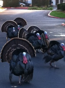 A rafter of turkeys strutting their stuff.